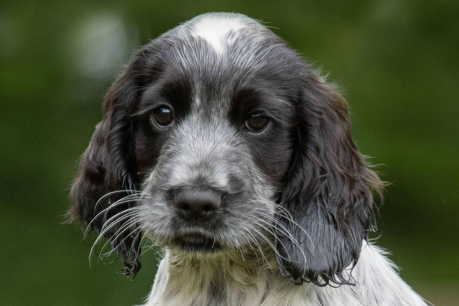 Sponsor a Puppy Josie