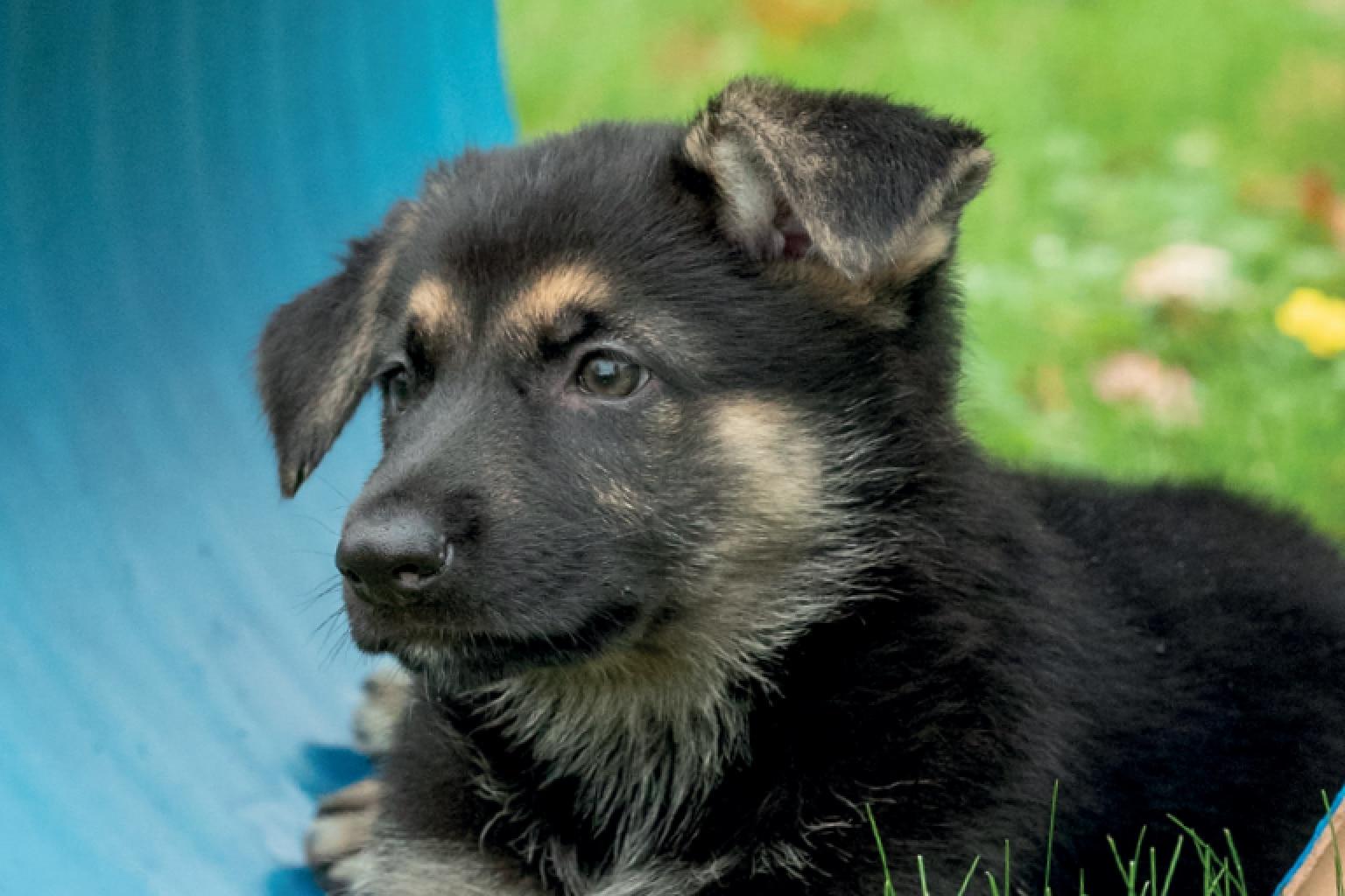 Sponsor a Puppy Lily